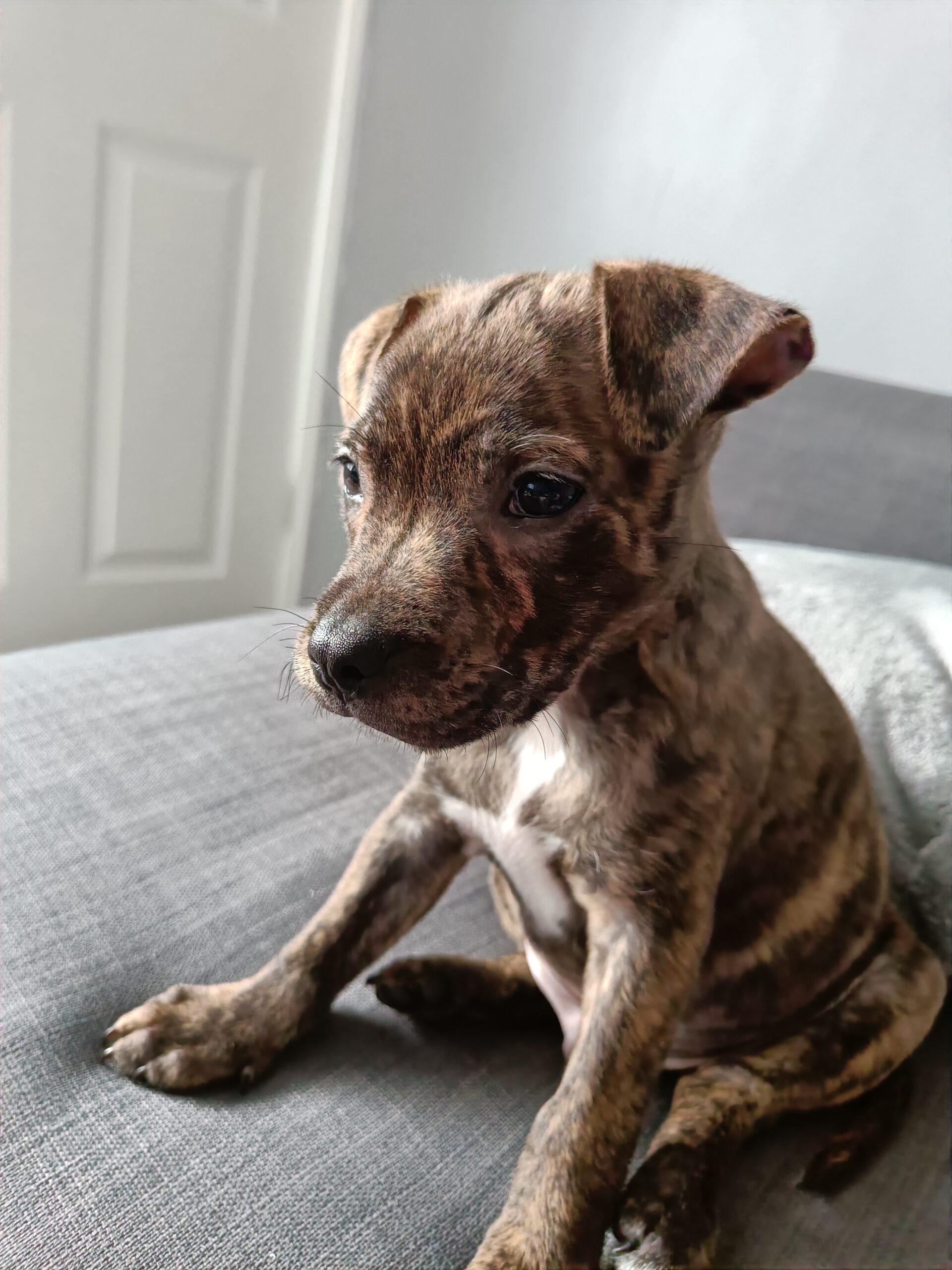 Milo Puppy